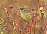 Palm Warbler, 11 October 2014, Mansfield, Tolland Co.