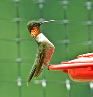 Ruby-throated Hummingbird, molting male showing orange/yellow irridescence in gorget 11 July 2011
