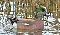 American Wigeon, 19 March 2014, Stratford, Fairfield Co.
