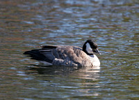 Richardson's Cackling Goose, Branford, CT