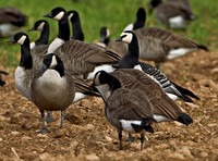 Barnacle Goose, Northford, CT