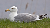 American Herring Gull, 30 April 2011, Madison, New Haven Co.
