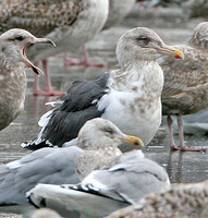 Slaty-backed Gull, Gloucester, MA