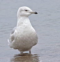 Iceland Gull, 7 February 2013, Madison, New Haven Co.
