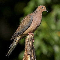 Mourning Dove, 17 September 2015, Mansfield, Tolland Co.