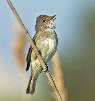 Eastern Willow Flycatcher, 18 June 2013, Madison, New Haven Co.