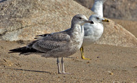 California Gull, 22 March 2016, Madison, New Haven Co.