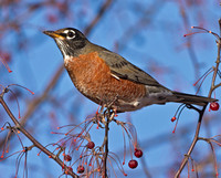 American Robins in crab apple, 28 November 2013, Columbia, Tolland Co.