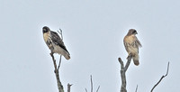 Red-tailed Hawk, Record shots of throat variation, 30 November 2014, Mansfield, Tolland Co.