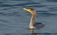 Double-crested Cormorant, November 2014, Cape Cod, MA