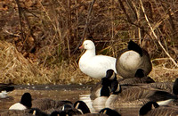 Ross's Goose,{record shots) 15 January 2016, Broad Brook, Hartford Co.