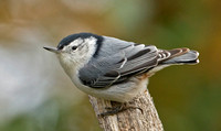 White-breasted Nuthatch, 18 October 2015, Mansfield, Tolland Co.