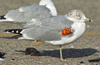 Ring-billed Gulls,(one wing-tagged) 1 March 2014, Stratford, Fairfield Co.