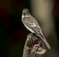 Eastern Wood-Pewee, 15 September 2016, Mansfield, Tolland Co.