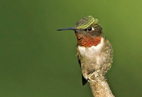 Ruby-throated Hummingbird, 5 July 2014, Mansfield, Tolland Co.