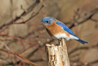 Eastern Bluebird, 19 February 2017, Mansfield, Tolland Co.