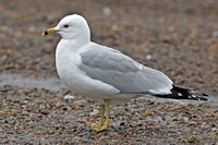 Ring-billed Gulls, including 3 banded individuals, 28 March 2014, Wethersfield, Hartford, Co.